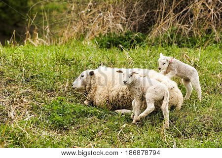 Sheeps with mother animal on a meadow in Summer