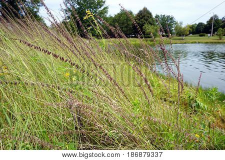 Sideoats grama (Bouteloua curtipendula) grows next to a small lake in Joliet, Illinois during July.