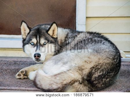 Dog breed husky curled up and lying at the doorstep of the house