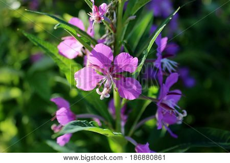 purple flower, flowering in the garden, Ivan - tea, flower in the sun