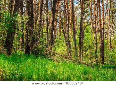 Bright natural background coniferous forest with high pine trees fallen tree green grass through the tops of the trees you can see the blue sky