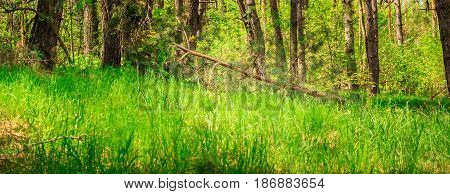 The bright natural background of the fallen tree in the coniferous forest is very beautiful the grass and young trees are growing around cleanly