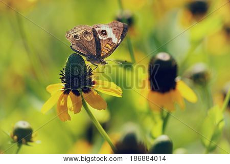 Common Buckeye butterfly (Junonia coenia) feeding on yellow coneflowers in spring