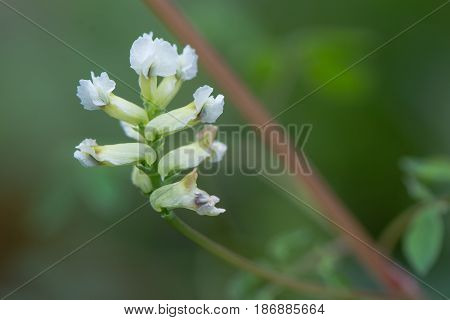 Climbing corydalis (Ceratocapnos claviculata) inflorescence. White flowers on plant in the poppy family (Papaveraceae) growing in British woodland