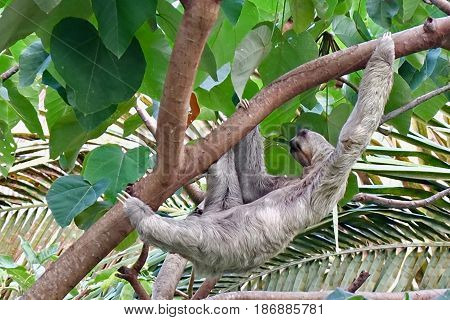 Three-toed sloth tree living mammal from costa rica