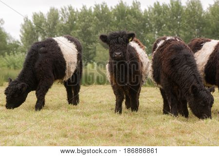 Belted galloway cattle grazing. Attractive heritage breed of beef cattle with long hair coat