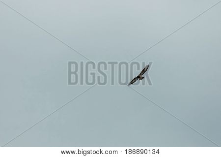 Large ferruginous hawk in flight with blue sky background, Plana mountain, Bulgaria