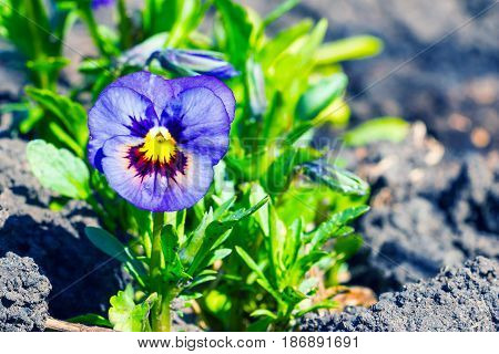 Viola tricolor, pansy flower in the spring garden 2