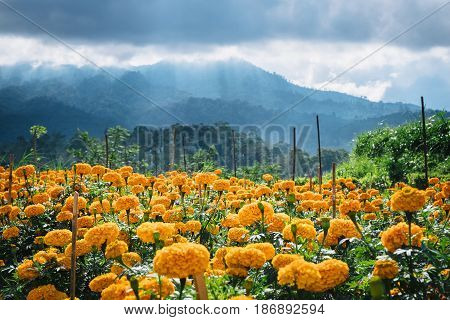 Orange flowers blooming in the field and mountains landscape with clouds on sky background, rare beautiful outdoor nature landscape of Batur volcano, Bali island, Indonesia.