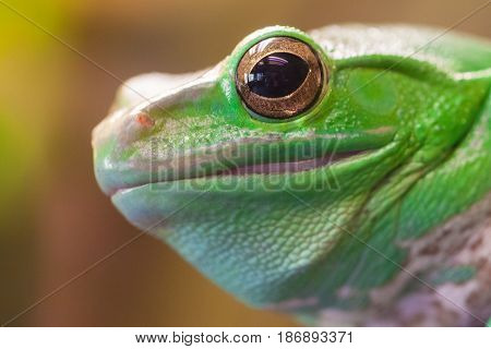 Green frog's head with big eye. Close up
