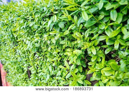 A big green hedge serves as a fence at the village
