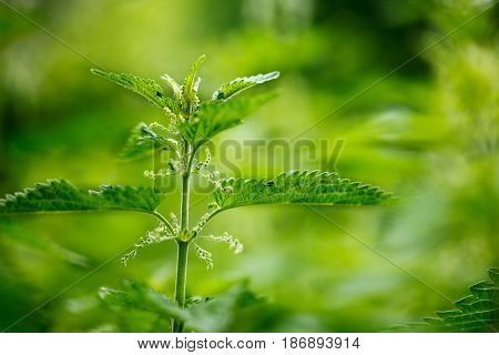 Green stinging nettle (urtica dioica) in garden