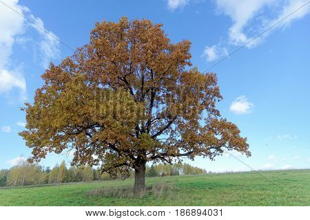 Autumn solitary oak in the middle of the field. A powerful tree brings peace.