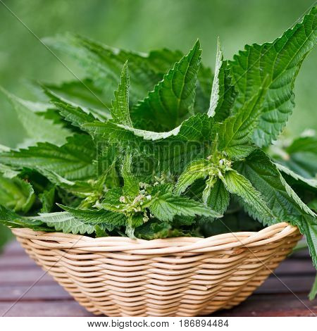 Freshly cut stinging nettles in wicker basket ready for cooking or fresh salad