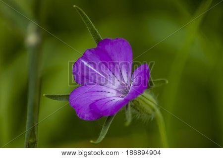 Corncockle or Agrostemma githago often met wild purple flower, Plana mountain, Bulgaria