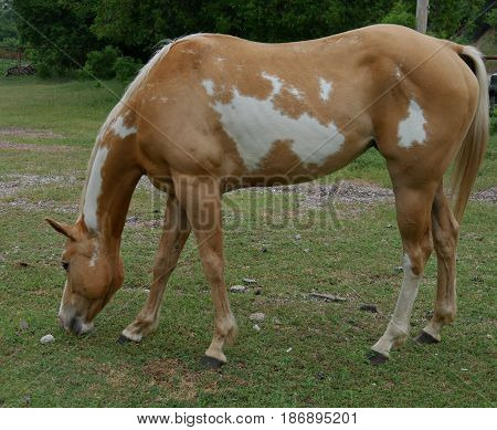 orange and white horse standing, eating grass, side view Side view of a horse standing with head on ground eating grass