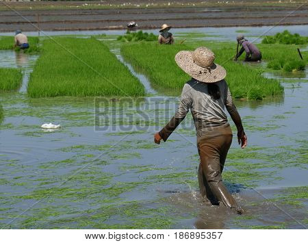 Rice planting season, Davao Oriental, Philippines Workers in the rice field wade in the mud to prepare the rice seedlings for planting.