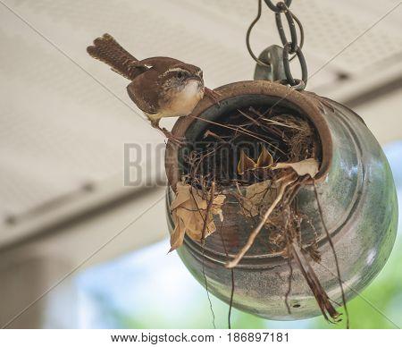 Brown Mother Wren Bird Feeding Young Birds In Nest