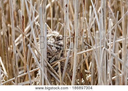 Marsh Wren nest at Vancouver BC Canada