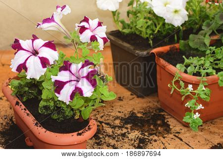 Planted Flowers Bacopa