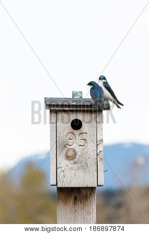 Tree Swallow on a nest box at Richmond BC Canada