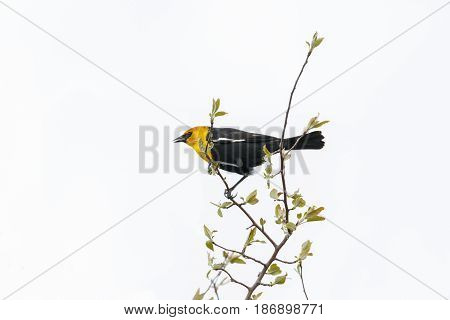 Yellow headed blackbird at Vancouver BC Canada Apr. 2017