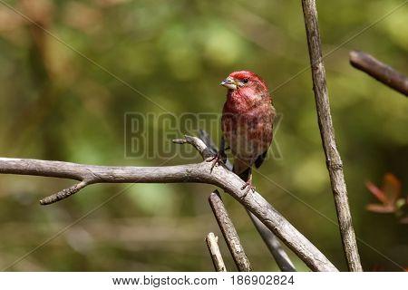 Male Purple finch at Richmond BC Canada