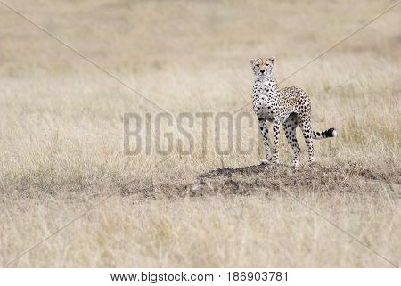Cheetah looking out for the victim in the African savannah Kenya