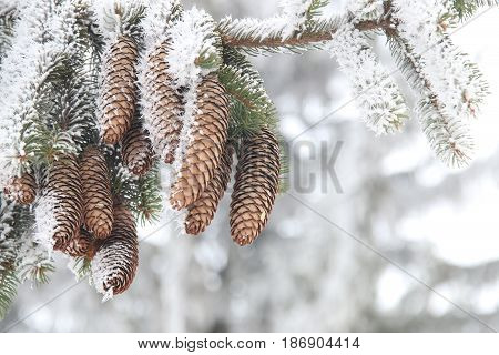 winrer background, fir branch in hoar frost on cold morning