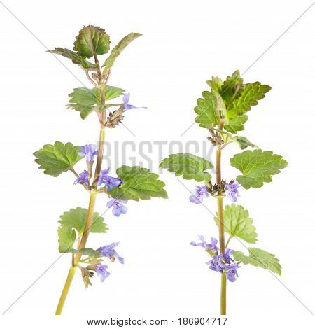 Field balm or ground-ivy (Glechoma hederacea) isolated on white background. Medicinal plant