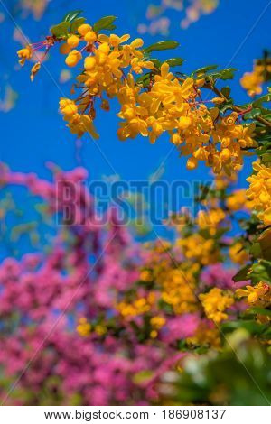 Colorful blossoming trees in spring in the garden