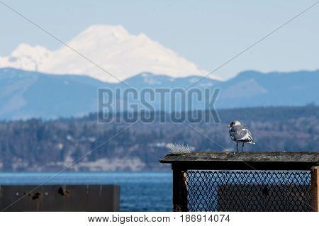 Seagull in front of Mount Baker across Port Gardner Bay, Washington State