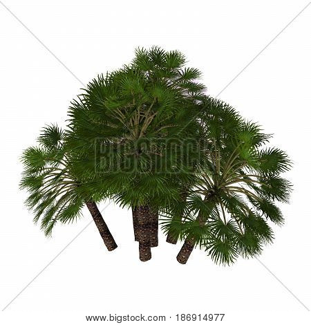 Chamaerops humilis Mediterranean Fan Palm 3d illustration - A native Mediterranean palm tree often found as a thick shrub and occasionally grows up to 7 meters.
