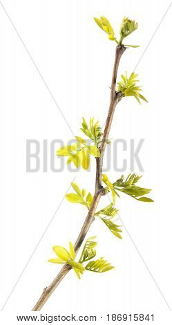 Spring branch of black locust (Robinia pseudoacacia) with young leaves isolated on white background