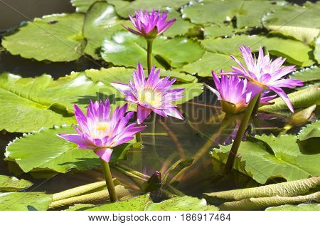 Lotus Flower Is Complemented