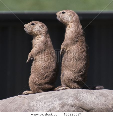 Two prairie dogs standing at attention on a sunny day.