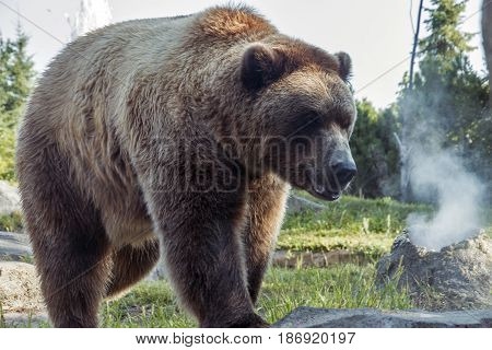 A grizzly walking by a simulated steam vent.
