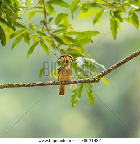 A rare Royal Flycatcher in full crown perched on a branch in Costa Rica