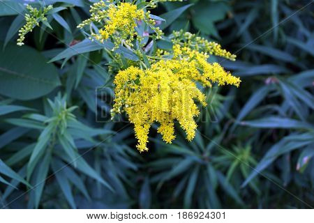 Canada goldenrod (Solidago canadensis) blooms in the Spring Lake Park, between Harbor Springs and Petoskey, Michigan, during August.