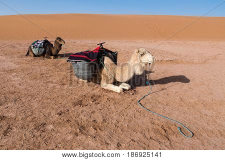 Two saddled camels rest before the road