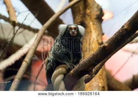 Geoffroy's Marmoset - Monkey Sitting On Rope