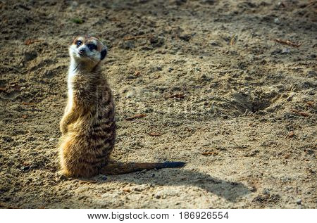 Meerkat Or Suricate In The Zoo