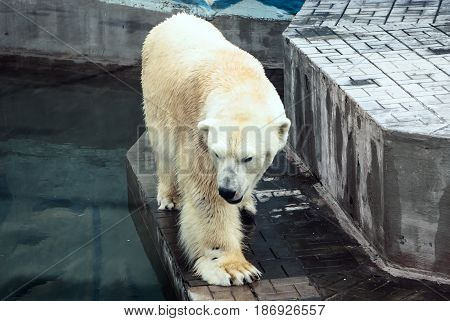 The Polar Bear Looks At His Reflection In The Water