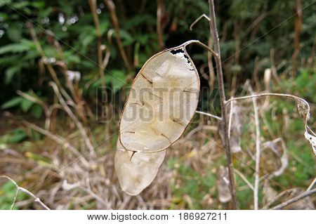 Honesty plant seed pods translucent silvery white pod Lunaria