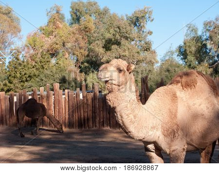 Dromedary Camels native of North Africa and Middle East