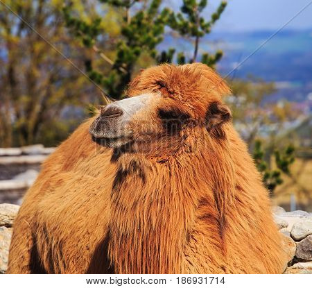 A camel, shallow depth of field picture with focus on the head.