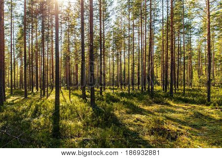 sunny landscape in a pine forest in early autumn