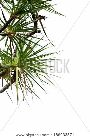 pandanus tree on side of page on a white background with writing space