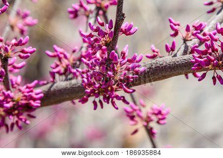 Flowering Of The Judaic Tree