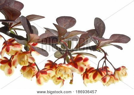Twig berberys with flowers on a white background. Beautifully blossoming twig of the berberys close up.